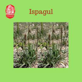 ispagul