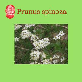 prunusspinoza